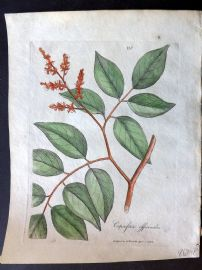 Woodville Medical Botany 1790's Hand Col Print. Copaifera Officinalis